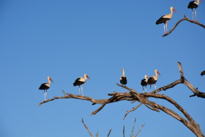 Cicogna white stork